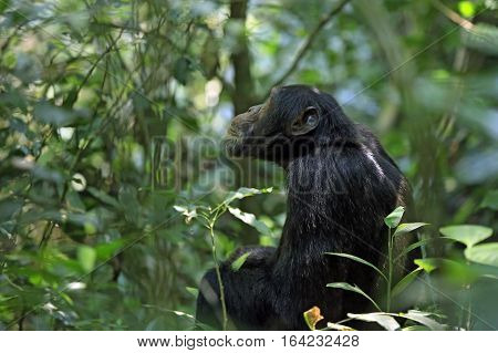 Common Chimpanzee (Pan troglodytes) in the Bush. Kibale Forest Uganda