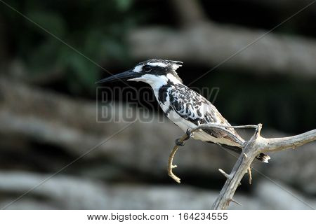 Pied Kingfisher (Ceryle rudis) on a Branch. Lake Mburo Uganda