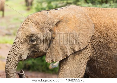 Baby Elephant In Nairobi National Park, Kenya