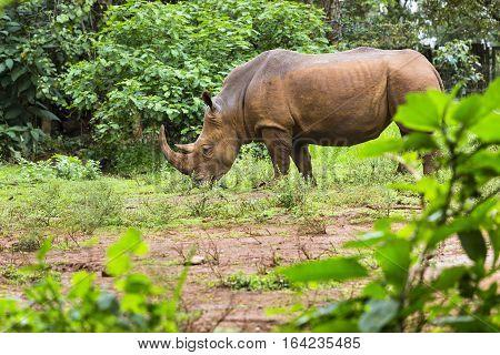 Rhino In Nairobi National Park, Kenya