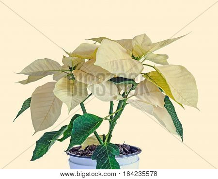 The Poinsettia Yellow Flowers (euphorbia Pulcherrima), The Flower Of The Christmas, Isolated On Whit
