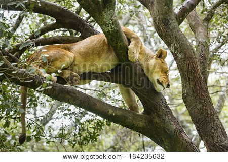 A Lion in a tree in Nairobi National Park Kenya.