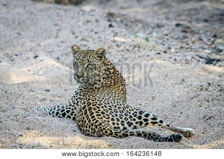 Leopard Laying In The Sand.