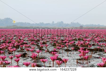 Red lotus in the morning at Kumphawapi in Udon Thani, amazing Thailand.