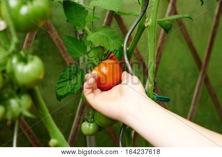 Close up woman hands picking a tomato