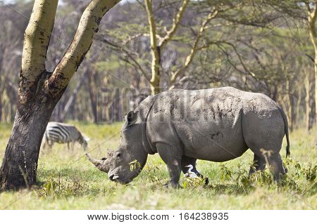 White Rhino In Kenya