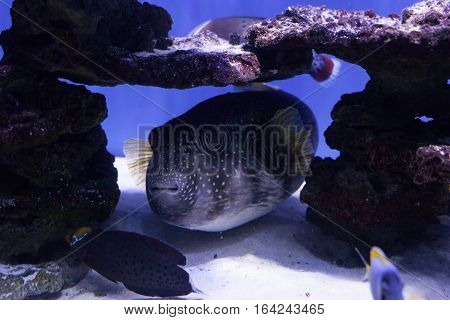 Puffer fish at the bottom among stones