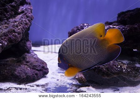 Beautiful bright angelfish swimming near reef at the bottom