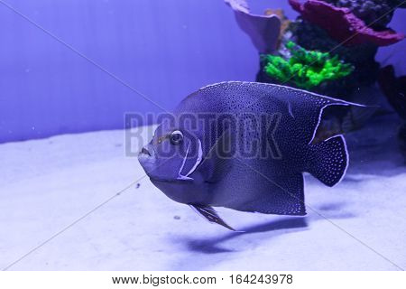 Semicircle angelfish in aquarium. Pomacanthus semicirculatus closeup