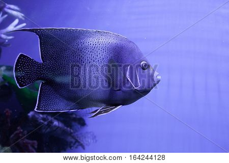 Portrait of semicircle angelfish closeup. Pomacanthus semicirculatus