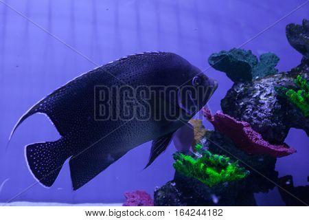 Semicircle angelfish swimming among corals. Pomacanthus semicirculatus