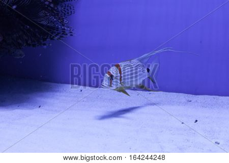 Snapper fish swimming in aquarium at the bottom. Symphorichthys spilurus