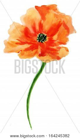 Orange poppy. Watercolor painting, isolated on white background