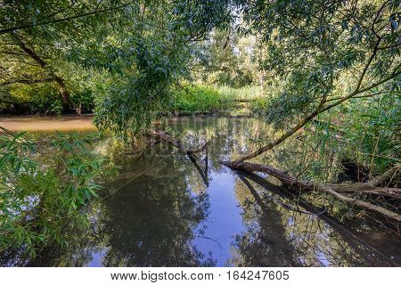 Backlit image taken on a sunny day in the summer season in the Dutch National Park De Biesbosch with a willow tree fallen in the creek with a mirror smooth water surface.