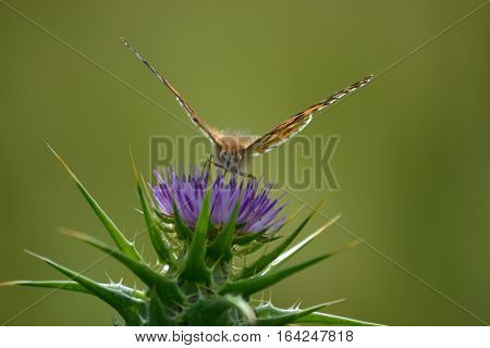 after enjoying the nectors from wild flower the painted lady is ready to take off.