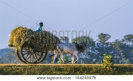 Panama, Sri Lanka - March 18, 2016: Sri Lankan man riding ox car in Panama, Sri Lanka. In remonte area of Sri Lanka, land work is still done in traditional way
