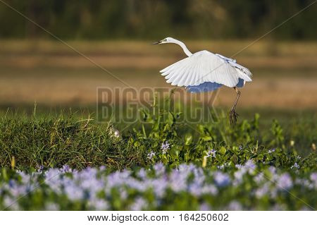 Great egret in Pottuvil nature reserve, Sri Lanka ; specie Ardea alba family of Ardeidae
