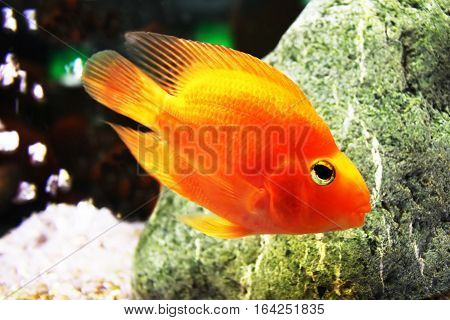 Nice view of golden fish in aquarium