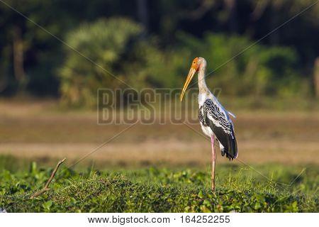 Painted stork in Pottuvil nature reserve, Sri Lanka ; specie Mycteria leucocephala family of ciconiidae
