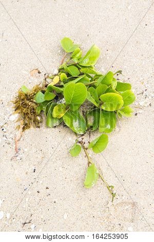 Ipomoea pes-caprae growing on sand, Beach morning glory grows on the beach, Thailand