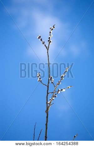 Willow branch with bushy sprouts blossom against clear blue sky in spring. Vertical view closeup