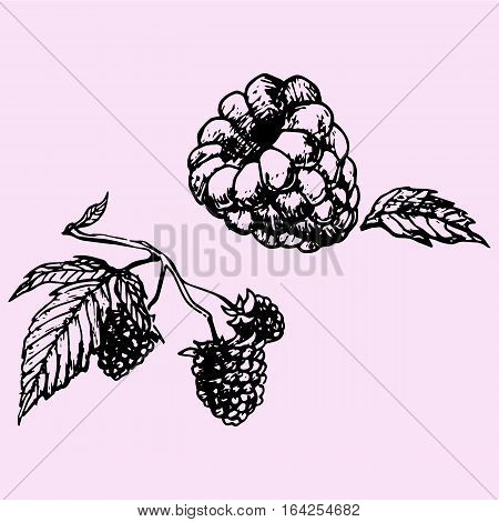 raspberry with leaf, doodle style sketch illustration hand drawn vector