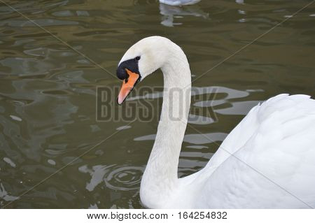 Beautiful swan on canal at my hometown