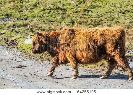 Highland cattle are a Scottish cattle breed, ginger