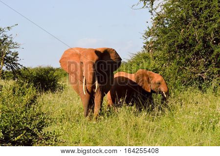 Kenya Red Elephant front view and elephant in East Tsavo Park