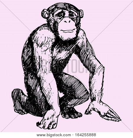 monkey, Sitting chimpanzee looks, doodle style sketch illustration hand drawn vector