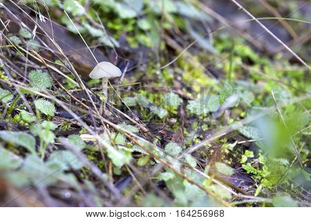 Small white mushroom growing in the ground.