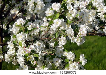 Deep apple tree branches with many white flowers blossom in spring on sunny day closeup