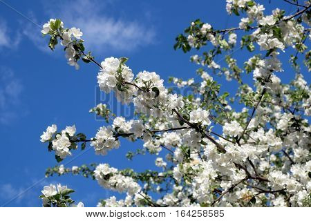 Deep apple tree branches with many white flowers blossom in spring on sunny day horizontal view close-up
