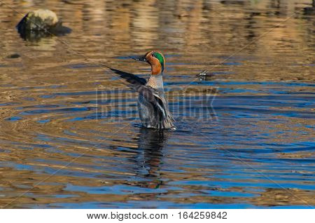 Green-winged Teal Stretching before its morning Swim
