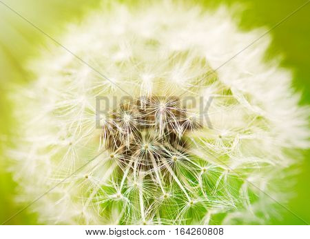 Close up photo of dandelion flower, fluff