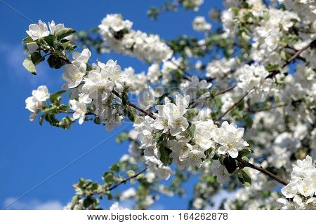 Blossom deep apple tree branches with many white flowers in spring on sunny day horizontal view close-up
