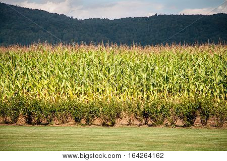 Corn filed with a hill covered with forest on background