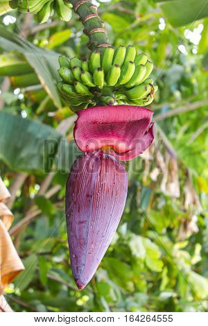 A Banana Flower and Bananas on the Tree