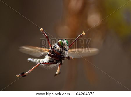 Aerial acrobatics of robber fly, mating courtship in flight