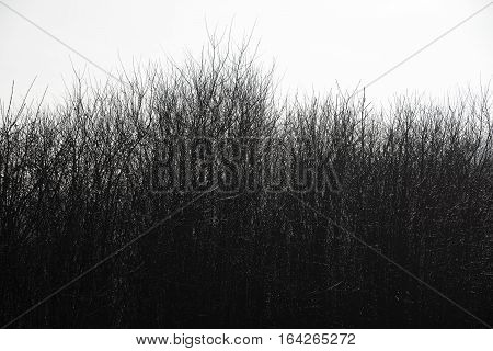 thick forest of black branches against white sky in gloomy weather poster