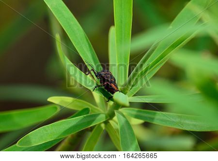Small beetle amidst green leaves of euphorbia wild plant