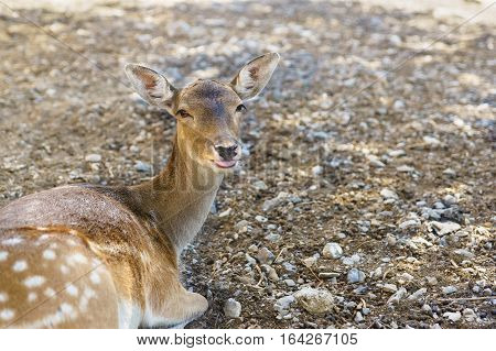 Sika deer shows the tongue (lat. Cervus nippon)