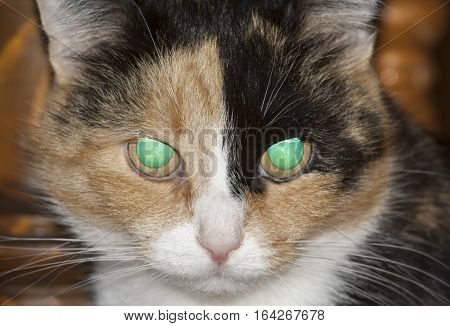 glowing eyes of three - colored cat