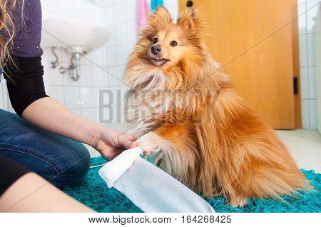 human bandage a shetland sheepdog in bathroom