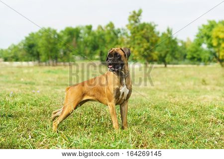 Young dog breed German boxer looking to the side