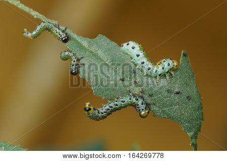 Four larvae (larvae) Sawfly (lat. Arge ochropus) on the roses