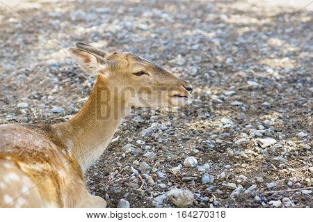 Spotted deer (lat. Cervus nippon) lying on the gravel