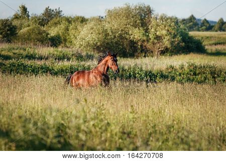The bay horse running gallop on the field