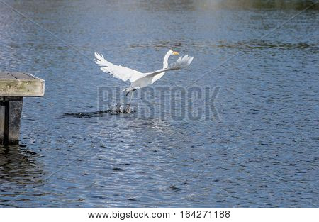 Great Egret fly away with a fish after hunting.