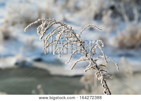 sear european goldenrod (Solidago virgaurea) covered with snow and hoarfrost in winter